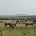 Topi wildlife in masai mara budget packages